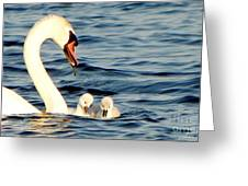 Swan And Signets On Wall Lake  Greeting Card