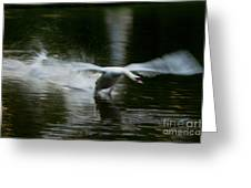 Swan In Motion Greeting Card