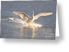 Swan Landing Greeting Card