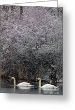 Swans At Mill Pond Yarmouth On Cape Cod Greeting Card
