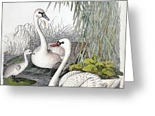 Swans, C1850 Greeting Card