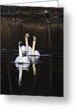 Swans In A Row Greeting Card