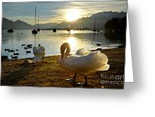 Swans In Sunset Greeting Card
