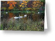 Swans In The Lake Greeting Card