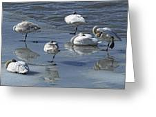 Swans On The Ice Along The Tagish Greeting Card