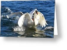 Swans Playing Greeting Card