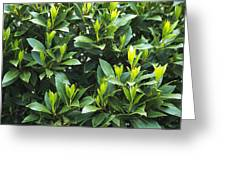 Sweet Bay (laurus Nobilis) Greeting Card