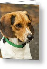 Sweet Little Beagle Dog Greeting Card
