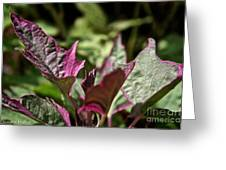Sweet Potato Vine Greeting Card