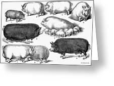 Swine, 1876 Greeting Card by Granger