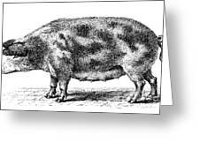 Swine Greeting Card
