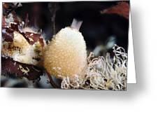 Sycon Sponge Greeting Card