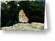 Tailed Jay Butterfly1 Greeting Card