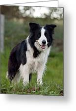 Taj - Border Collie Greeting Card by Michelle Wrighton