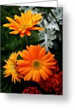 Tangerine Colored Gerbera Daisies Greeting Card