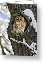 Tawny Owl Strix Aluco In Nest Hole Greeting Card