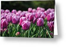 Taylor's Tulips Greeting Card