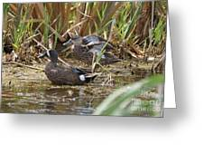 Teal Pair In The Cattails Greeting Card