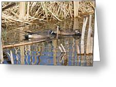 Teal Swiming Along Cattails Greeting Card