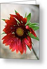 Teary Gaillardia Greeting Card