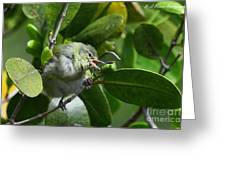 Tennesse Warbler Eating Mangrove Greeting Card