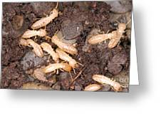 Termite Nest Reticulitermes Flavipes Greeting Card by Ted Kinsman