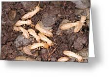 Termite Nest Reticulitermes Flavipes Greeting Card