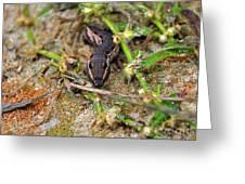 Tersa Sphinx Caterpillar Greeting Card