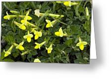 Tetragonolobus Maritimus Greeting Card