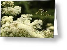 Thalictrum Aquilegiifolium Album Greeting Card