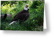 The American Bald Eagle IIi Greeting Card