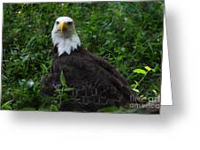 The American Bald Eagle Iv Greeting Card