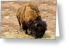 The American Buffalo Greeting Card