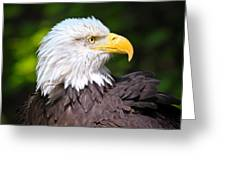 The Bald Eagle Greeting Card