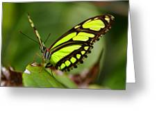 The Beautiful Color Of A Malachi Butterfly Greeting Card
