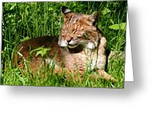 The Bobcat's Afternoon Nap Greeting Card