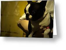 The Boston Bull Terrier  Greeting Card