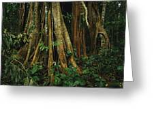 The Buttressed Roots On A Strangler Fig Greeting Card by Steve Winter
