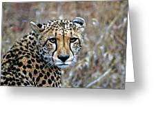 The Cheetah Stare Greeting Card