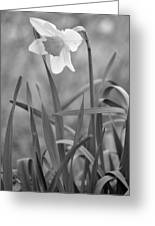 The Daffodil In Black-and-white Greeting Card