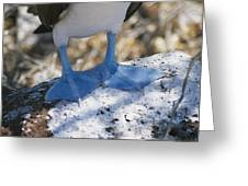 The Feet Of A Blue Footed Booby Bird Greeting Card by Gina Martin