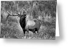The Harem Bull Greeting Card