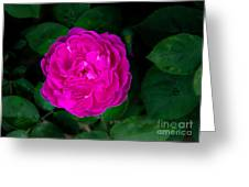 The Old Red Rose Greeting Card