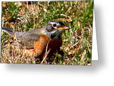 The Robin Stare Greeting Card