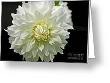 The White Dahlia Greeting Card