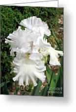 The White Iris Greeting Card