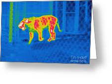 Thermogram Of A Tiger Greeting Card