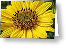 Thinleaf Sunflower Greeting Card