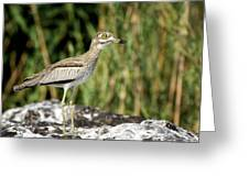 This Is Botswana No.  5 - Water Thick-knee Greeting Card