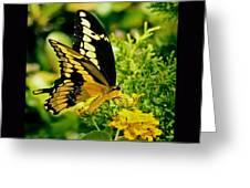 Thoas Swallowtail #1 Greeting Card